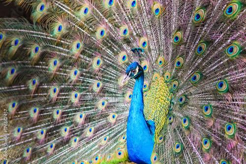 Aluminium Pauw Peacock