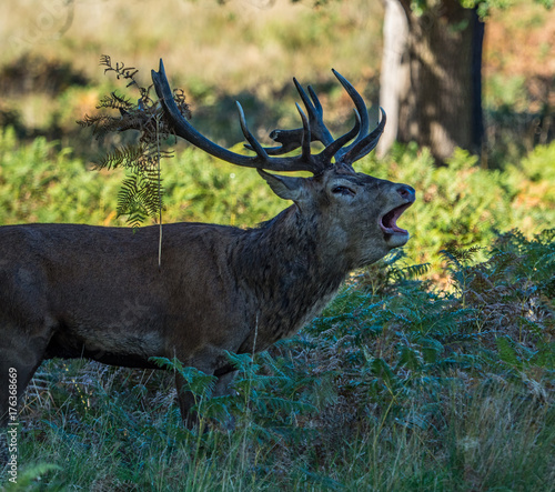Aluminium Hert Bellowing red deer
