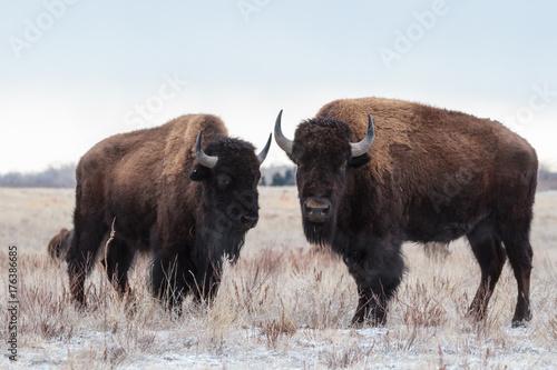Fotobehang Bison Wild Bison Standing in the Colorado Snow