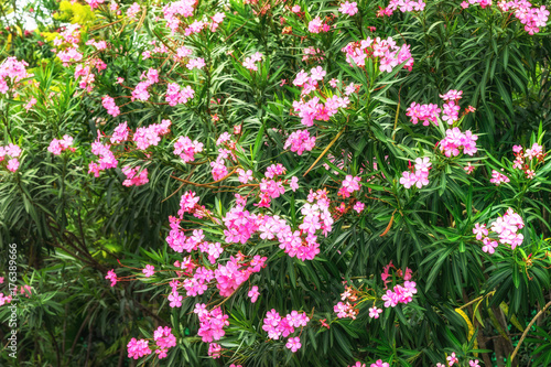 Aluminium Plumeria pink plumeria tree in garden for backdrop