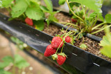 Close-up shot of appetizing fresh strawberries growing at modern greenhouse - 176391447