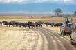 Quadro Safari in Africa, tourists in jeeps watching buffalos crossing road in savannah of Kruger national park, wildlife of South Africa