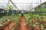 Interior of modern spacious greenhouse illuminated with daylight, rows of pepino plants, no people - 176392091