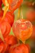 Lampionblume-Physalis