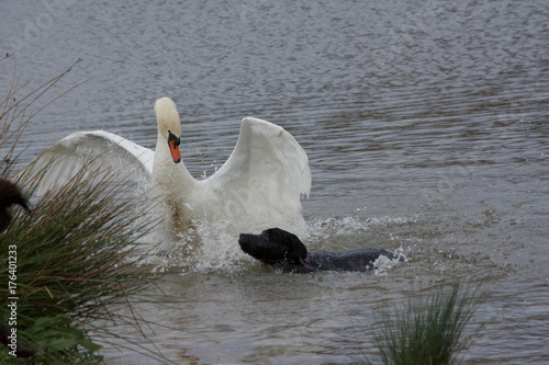 Fotobehang Zwaan Swan attacked by a dog