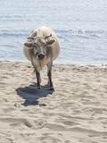 Big clever cow on the sand - 176405807