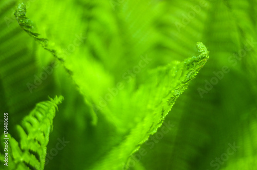 Fresh green fern leaves on blur background in the garden. Texture of fresh fern leaves. - 176408655