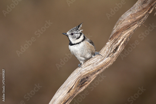 crested tit Poster