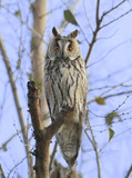 Full size portrait of long eared owl on the tree - 176410068
