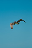 Brown pelican / Souring mature brown pelican flying of an isolated sandy beach in the Gulf of Mexico - 176416672