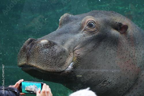 Naklejka Hippopotame amphibie - ZooParc de Beauval