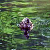 Kaczki pływają po jeziorze w letni słoneczny dzień