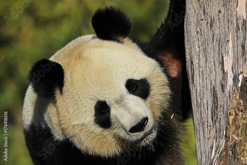 Panda géant - ZooParc de Beauval Poster
