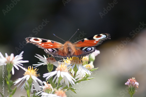Fotobehang Vlinder brown butterfly on white flower