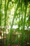 Green Bamboo Forest In China - 176432220