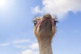 Portrait of a curious ostrich - 176434480