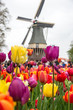 Beautiful landscape of tulips and windmill in Holland - 176444211