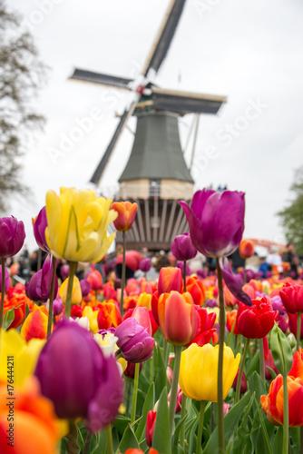 Fototapeta Beautiful landscape of tulips and windmill in Holland