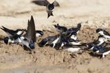 Hirondelles prenant de la boue pour faire leurs nids - 176445699