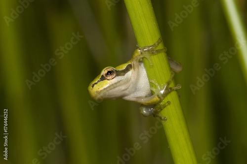 Fotobehang Kikker juvenile de rainette méridionale Hyla meridionalis