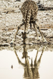 Giraffe - 176449221