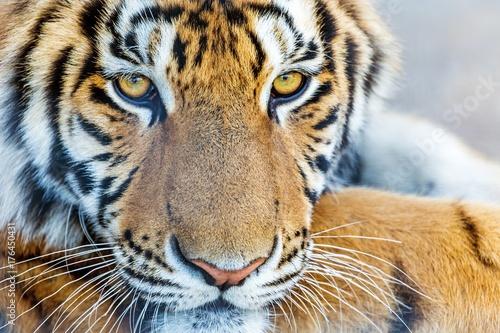 Tiger. Poster