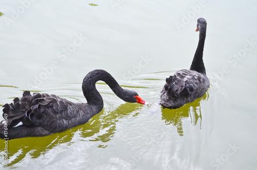Black Swan, Shanghai zoo Poster