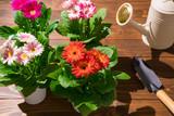 園芸 ガーベラの花 - 176476087