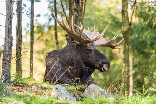 Portrait of moose (Alces alces) bull lying on the ground in forest.