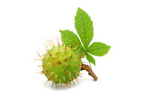 Chestnuts with leaves on white background. An isolated object. - 176481676