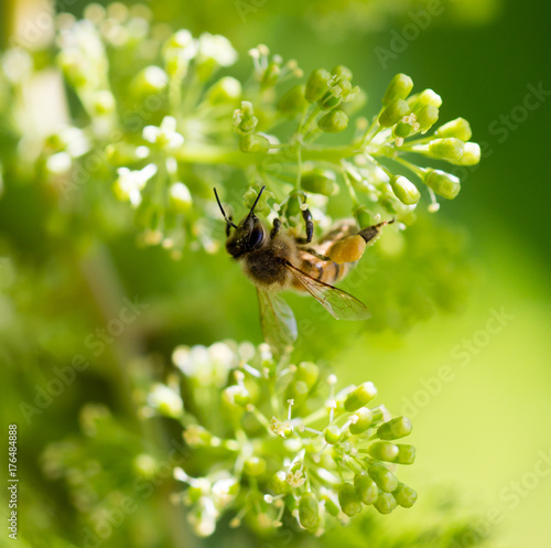 bee on the green grapes