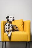 Dalmatiner im Sessel