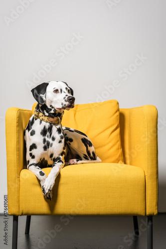 Dalmatiner im Sessel Poster