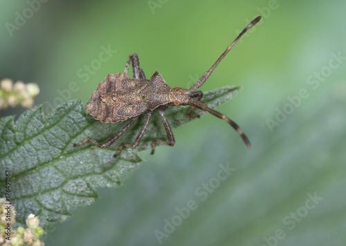Dock bug, Coreus marginatus, nymph