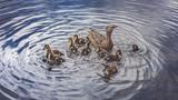 Mutter Ente mit kleinen Küken schwimmend im Wasser bei Sonne im Sommer in Schweden - 176495445