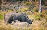 White rhino mother with calf feeding in the wild. South Africa - 176495491