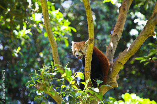 Aluminium Panda red panda on tree