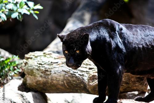 Foto op Plexiglas Panter black panter