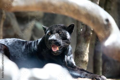 In de dag Panter black panter
