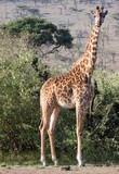 Giraffe looking - 176502268