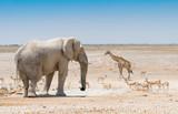 Elefant, Giraffe und Springböcke an einem Wasserloch  im Etosha Nationalpark, Naminbia - 176502678
