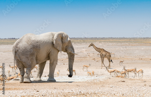 Elefant, Giraffe und Springböcke an einem Wasserloch  im Etosha Nationalpark, Na Poster