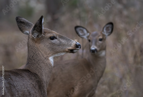 Aluminium Hert White-tailed deer in the forest