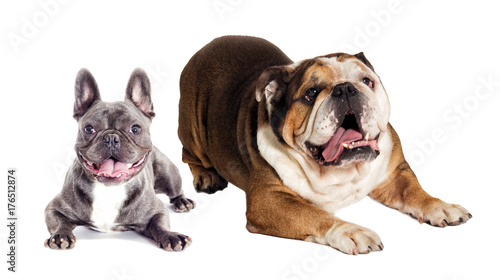 Poster Franse bulldog english and french bulldog
