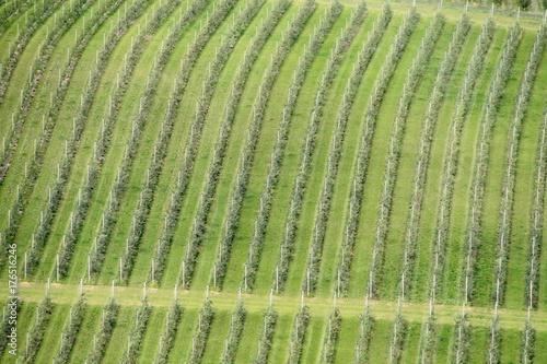 Aluminium Wijngaard Lines of vineyards from above