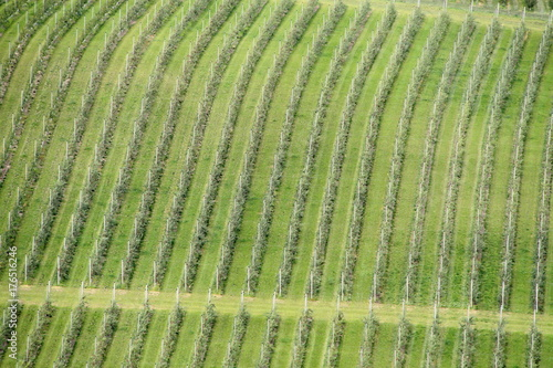 Lines of vineyards from above Poster