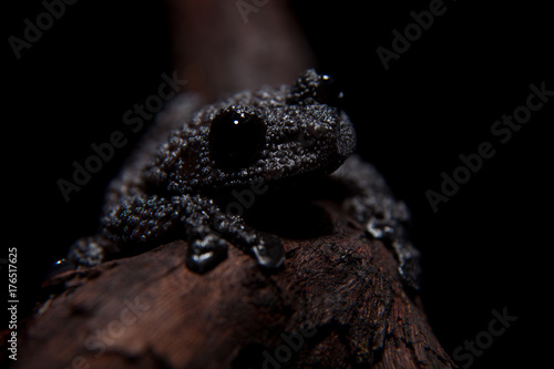 Aluminium Kikker Theloderma ryabovi, rare spieces of frog on black