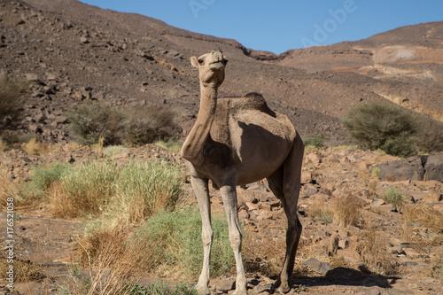Fotobehang Kameel Sahara Camel