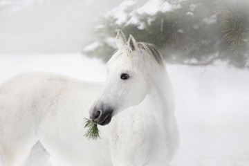 Portrait of white horse on the pine-trees and snow background