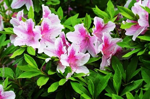 Fotobehang Azalea Pink and White Azaleas